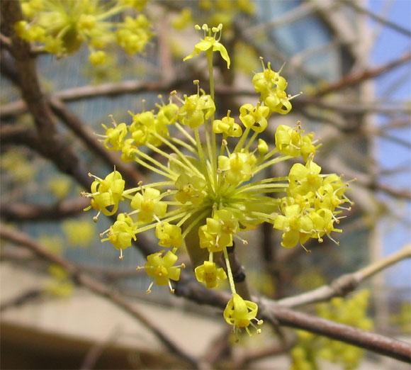가장 먼저 핀 산수유 꽃