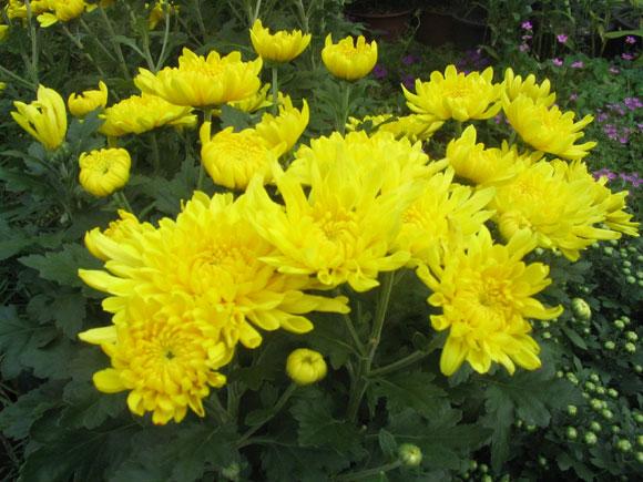 노란색의 예쁜 국화