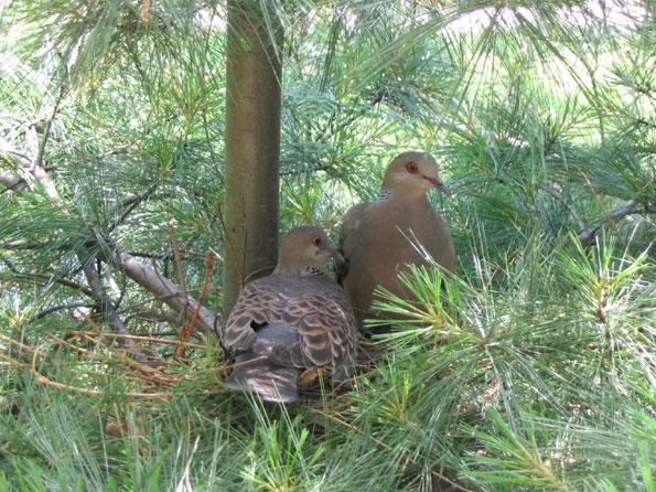 집앞의 멧비둘기 한쌍