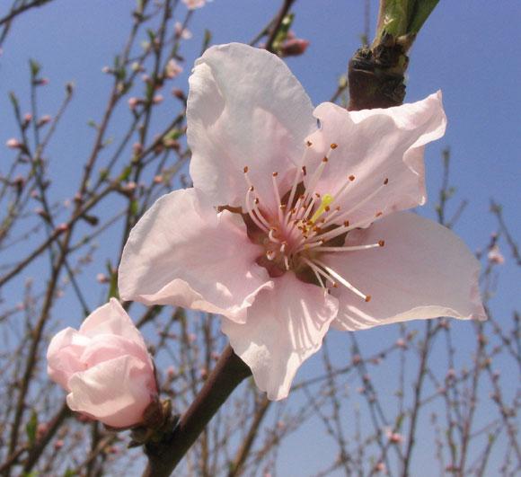 예쁜 복숭아 꽃