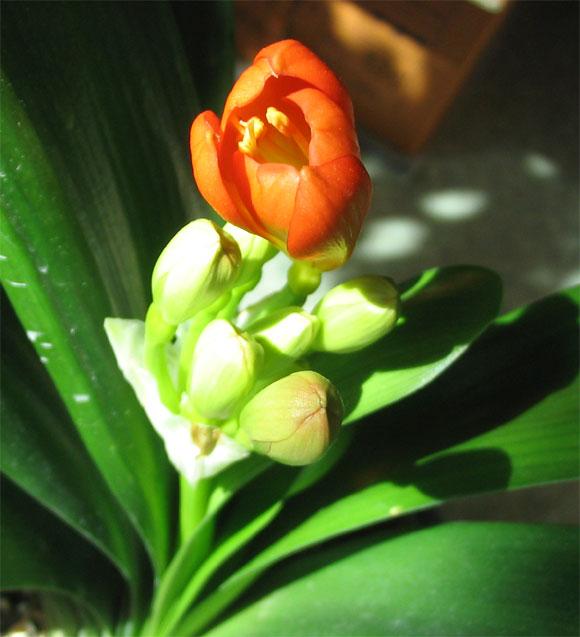 군자란의 꽃봉오리