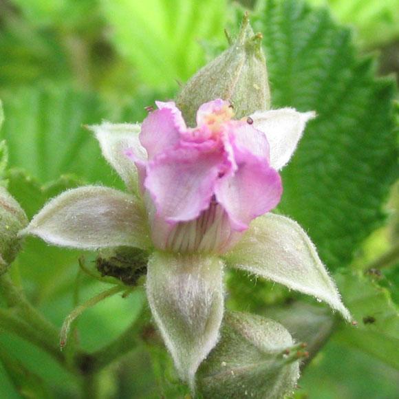산딸기 꽃