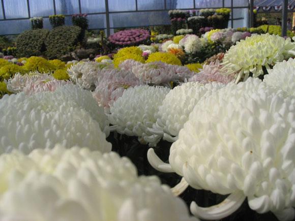 아름다운 국화꽃들...